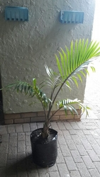 Bottle Palm 20L