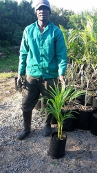 Golden Cane Palm 5L