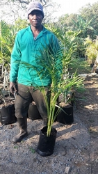 Golden Cane Palm 10L