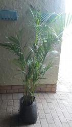 Golden Cane Palm 20L
